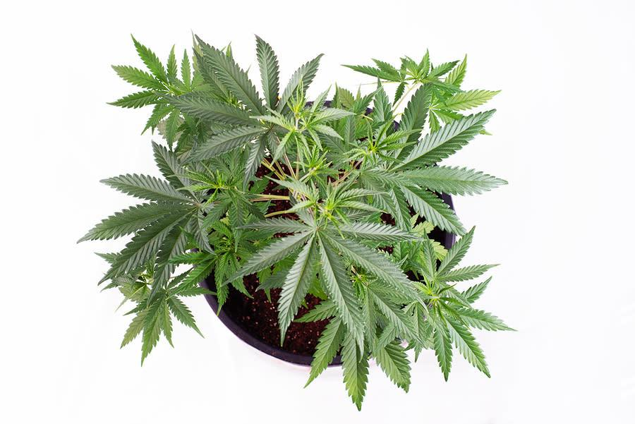 post-image-Growing cannabis indoors differs from cultivating an ordinary house plant.