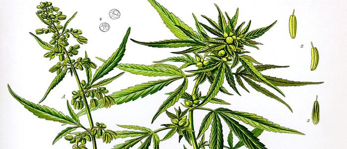 the untold story of marijuana and hemp Anslinger: the untold cannabis conspiracy is a podcast the untold cannabis the man credited for demonizing hemp as marijuana and creating what has become an.